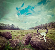 Gaur (Indian bison) skull with horns and bones. Vintage retro hipster style travel image of gaur (Indian bison) skull with horns and bones in Periyar wildlife Stock Photos