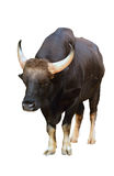 Gaur isolated Royalty Free Stock Images