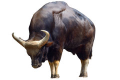 Gaur Royalty Free Stock Images