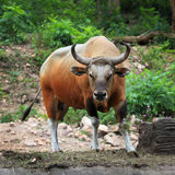 Gaur Stock Photos