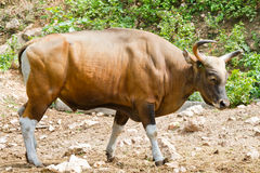 Gaur in kao kheow open zoo Royalty Free Stock Images