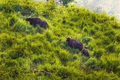 Gaur (laosiensis del gaurus del Bos) Foto de archivo