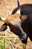 Gaur. Is a large bovine native to South Asia and Southeast Asia Royalty Free Stock Photo