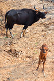 Gaur. Is a large bovine native to South Asia and Southeast Asia Royalty Free Stock Photography