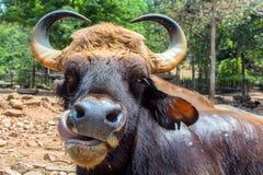 Gaur lub Bos gaurus w zoo Zdjęcia Stock
