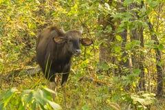 Gaur sauvage mâchant le ruminage dans la jungle photographie stock