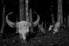 Gaur skalle Arkivbild