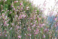 Gaura Belleza flowers moving in the wind royalty free stock image