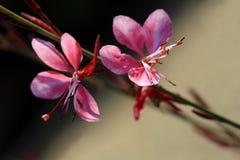 Gaura lindheimeri 'Gaudi Red' flowers Royalty Free Stock Images
