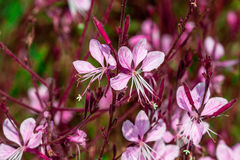 Gaura lindheimeri Stock Photography