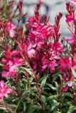 Gaura lindheimeri, beeblossom pink flowers Royalty Free Stock Photography