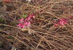 Gaura lindheimeri Pink Lady in bloom, purposely blurred Royalty Free Stock Photo