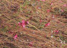Gaura lindheimeri Pink Lady in bloom, purposely blurred Royalty Free Stock Photos