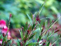 Gaura lindheimeri shrub Royalty Free Stock Image