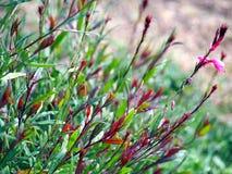 Gaura lindheimeri shrub Stock Photo