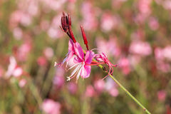 Gaura lindheimeri or Whirling butterflies flower. On colorful blurry background Stock Image
