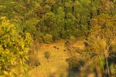 gaurus牧群的一个遥远的图象在动物储备的 免版税库存照片