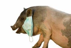 Gauze bandage on the swine as swine flu concept. Pig with blue gauze mask isolated on white Royalty Free Stock Image