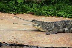 gavial印地安人 免版税库存图片