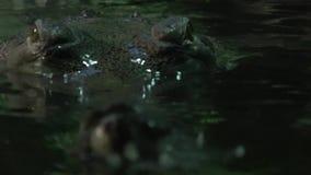 Gavial印度Gavialis gangeticus 危急地危险的鳄鱼 影视素材