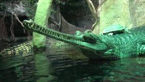 Gavial印度Gavialis gangeticus Gavial鳄鱼小组 危急地危险的鳄鱼 gavial鳄鱼的绿色 的野生生物 影视素材
