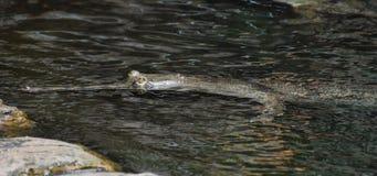 Gavial在河水游泳 免版税图库摄影