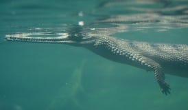 Gavial游泳在一条蓝色河 免版税库存图片