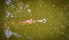Gavial鳄鱼或gharial浮动在水池自然 库存照片