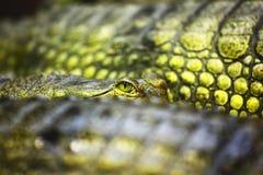 Gavial鳄鱼 免版税图库摄影