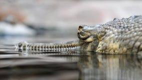 gavial Ινδός Στοκ Φωτογραφίες