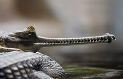 gavial Ινδός Στοκ Εικόνες