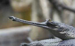 gavial Ινδός Στοκ Φωτογραφία