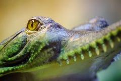 Gavial με το ανοικτά στόμα και τα δόντια Στοκ Φωτογραφίες