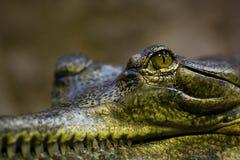 Gavial Стоковое фото RF