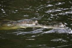 gavial вода Стоковая Фотография