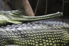 gavial инец Стоковое фото RF