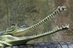gavial инец Стоковая Фотография RF