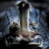Gavial с открытыми челюстями Стоковая Фотография RF