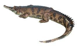 gavial Стоковые Фотографии RF