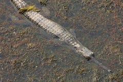 gavial水 免版税库存照片