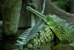 印第安gavial 库存照片