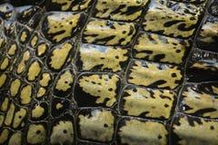 Gavial Стоковая Фотография RF