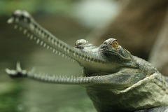Gavial. (Indian gharial) with its jaws wide open Stock Photos