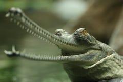 gavial 库存照片