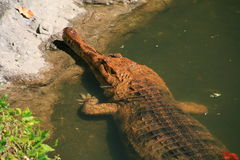 Gavial Photo stock