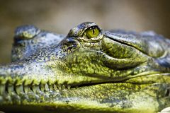 Gavial Stock Images