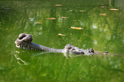 Gavial Stock Photos