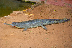 Gavial. Crocodile in Nandankanan zoo, Orissa Royalty Free Stock Photo