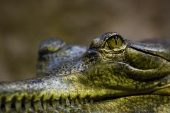 Gavial Foto de Stock Royalty Free