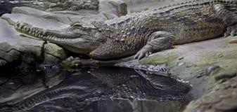 5 gavial falsos Imagem de Stock Royalty Free